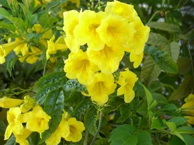 Fleur de Tecoma stans