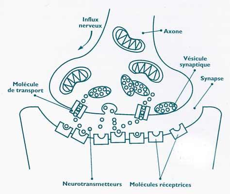 Ii les effets sur le cerveau for Influx nerveux
