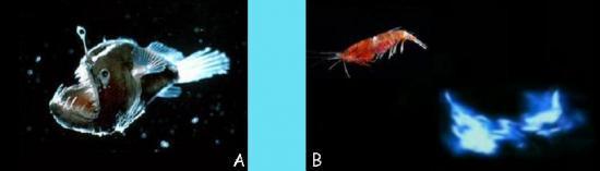 Poisson-Lanterne et Oplophorus