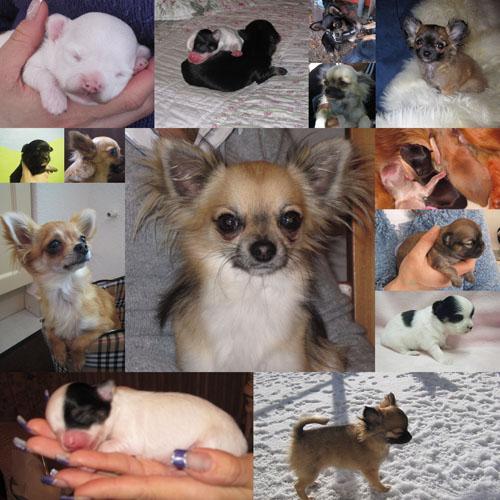 Arche De Noe Chihuahua Elevage Familial De Chihuahuas En Suisse Articles Sur Le Chihuahua La Personnalite Les Soins La Nourriture L Educatio
