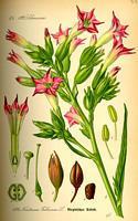 Plante de petum
