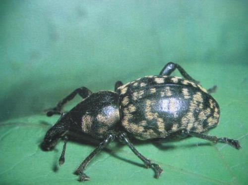 Curculionidae sp