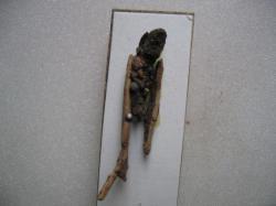Halesus radiatus Fourreau larvaire Coll. A.M.B legit. Lieu Eure