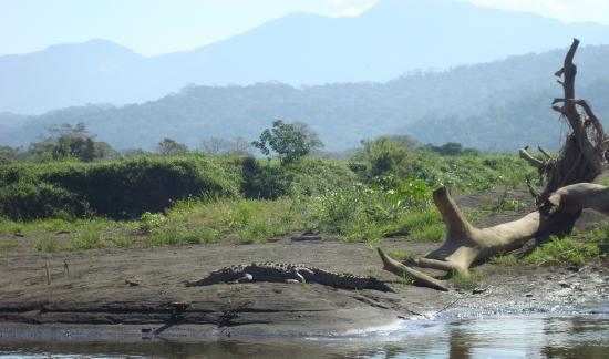 COSTA RICA Jaco les crocos à Tarcoles @hellomisterd.com