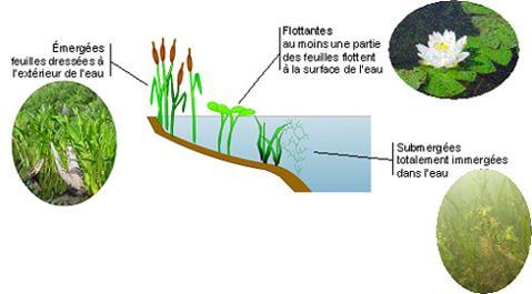 plante aquatique submergee
