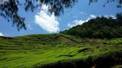 Plantations de thé dans les Cameron Highlands