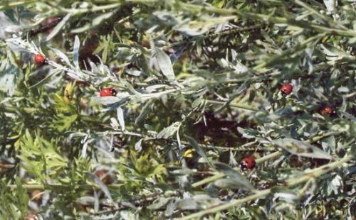 Photo Marie-Noëlle V.Coccinelles se régalant de Pucerons sur une Absinthe en été
