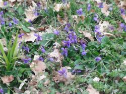les violettes sont là aussi