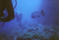 mérou suivant les plongeurs aux Iles Medes