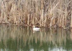 Canard blanc de 2010