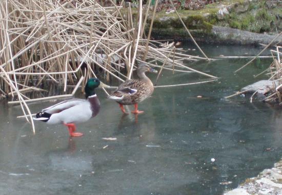 Amours de canards sur la glace