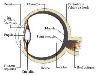 Le globe oculaire humain anatomie et fonction - Couche du globe oculaire ...