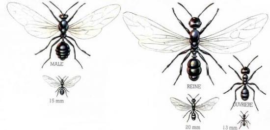 Mode de vie d 39 une fourmi - Dessin d une fourmi ...
