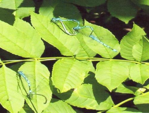 Coenagrion puella Linnaeus 1758. Photo de Marie- Noëlle V. Avec son aimable autorisation