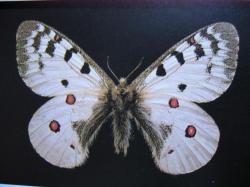 Lépidoptères protégés Parnassius phoebus Petit apollon