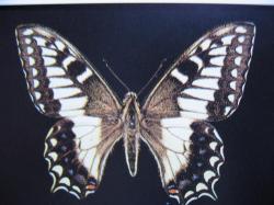 Lépidoptères protégés Papilio hospiton Machaon Corse
