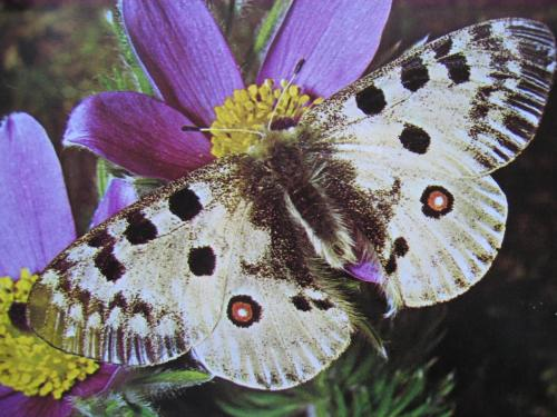 Lépidoptères protégés Parnassius apollo