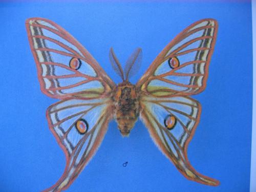 Lépidoptères protégés Graellsia isabellae Mâle