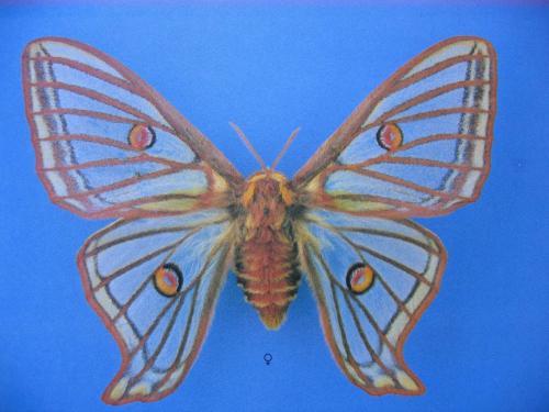 Lépidoptères protégés Graellsia isabellae Female
