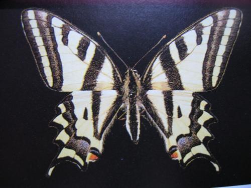 Lépidoptères protégés Papilio alexanor Alexanor