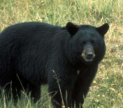 La forêt boréale, un écosystème à protéger! (photos, article et vidéo/documentaire L'erreur Boréale) Ours-noir-black-bear-ynp1-462