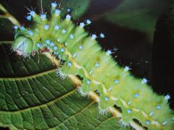 Saturnia pyri larva