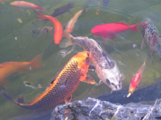 Carpes koi poissons rouges et l 39 esturgeon animent le bassin for Croisement carpe koi poisson rouge
