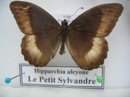 Satyriidae Photo A.M.B. 1998 Var