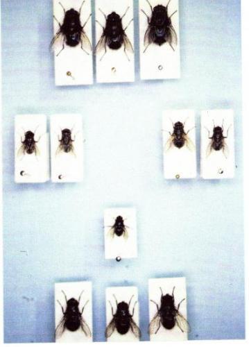 Insectes Médico-légaux Coll. Rachel AMMAN. Photo A.M.B