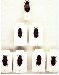 Les Dermestes Insectes Médico-Légaux Coll. Rachel M. AMMAN. Photo A.M.B