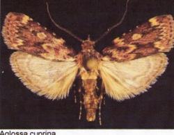 Aglossa cuprina Leg.Coll. Photo A.M.B