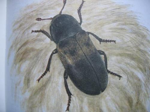 Dermestes lardarius Dermeste du lard (Imago)Insectes médico-légaux, dessin au trait de Marie-Josée Y.