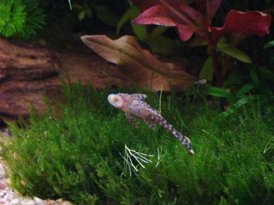 Corydoras ancistrus poisson nettoyeur poisson de fond for Nettoyeur aquarium poisson