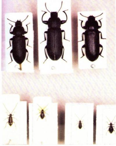 Tenebrio sp Insectes Médico-légaux Coll. Rachel M. AMMAN. Photo A.M.B