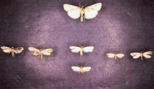 De Ht en Bs, de Gche à Dte Aglossa,Monopis,Tineola,Tinea.Insectes Médico-légaux Coll. Rachel M. AMMAN. Photo A.M.B