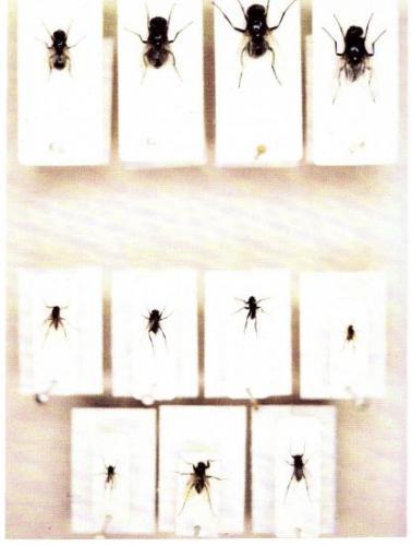 De haut en bas, le genre Ophyra, Famille Phoridae. Insectes Médico-légaux Coll. Rachel M. AMMAN. Photo A.M.B