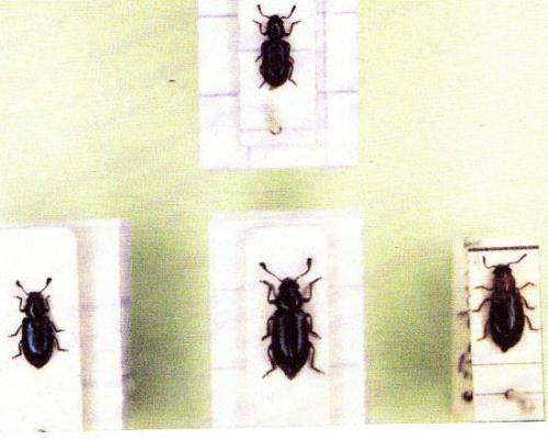 Insectes Médico-légaux Coll. Rachel M. AMMAN. Photo A.M.B