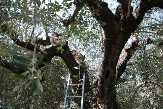 La taille des oliviers le jardin du chemin tordu - Jardin taille olivier ...