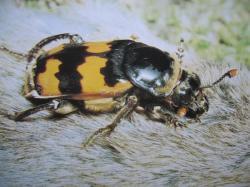 Nécrophore Coléoptères sarco-saprophage Insectes Médico-Légaux Coll. Photo A.M.B Le Moulin de Prey