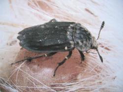 Thanatophilus sinuatus Coléoptères sarco-saprophage Insectes Médico-Légaux Coll. Photo A.M.B Le Moulin de Prey