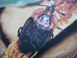Oeceoptoma thoracica Coléoptères sarco- saprophage Insectes Médico-Légaux Coll. Photo A.M.B Le Moulin de Prey