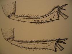 Tibia postérieur de Necrophorus vespillo en haut et de N. humator en bas. Dessin et photo A.M.B