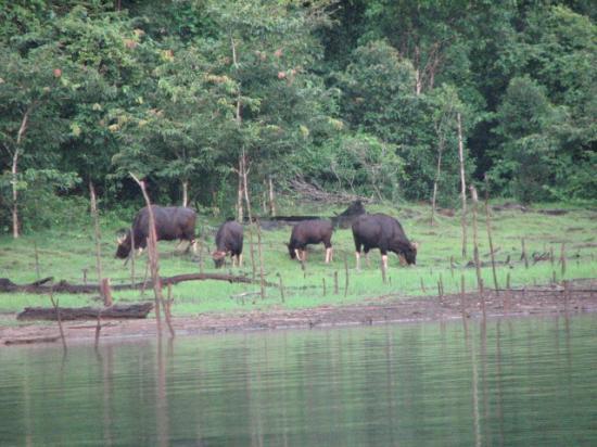 troupeau de Gaurs vus a Klong Seng - Khao Sok
