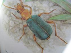 Brachinus explodens Duftschmidt,1812 Carabidae Le Bombardier