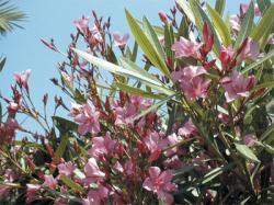 Plantes toxiques - Feuilles jaunes laurier rose ...