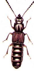 Philonthus splendens; Insectes Médicaux-Légaux Coll. Rachel M. AMMAN Photo A.M.B