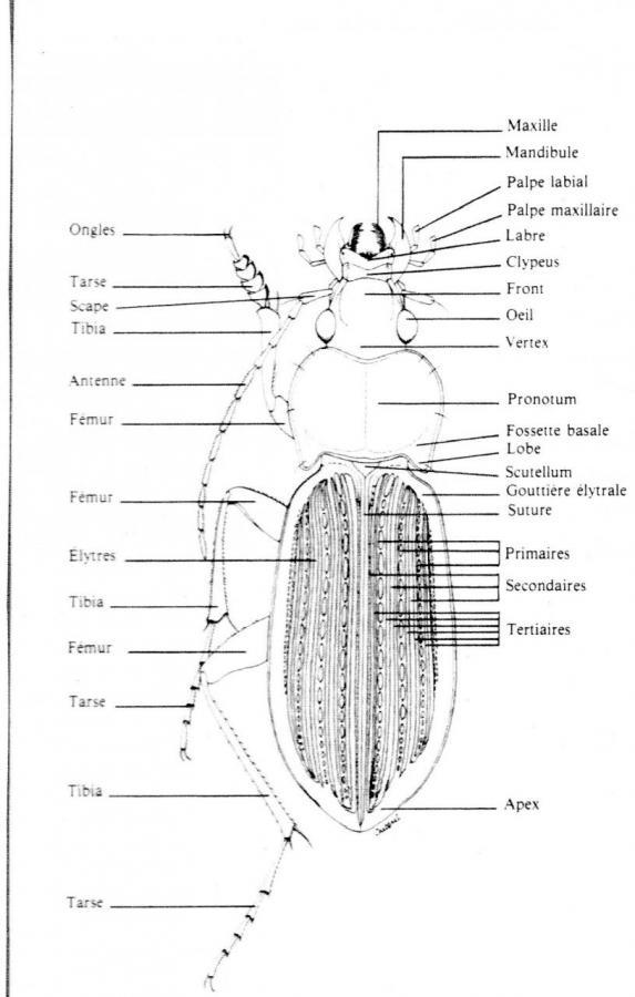 Dessin à la plume des détails anatomique d'un coléoptère de Tirzah Mersham Photo A.M.B