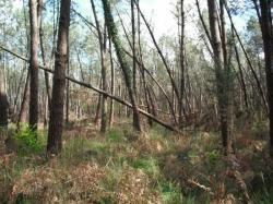 la forêt des Landes dévastées