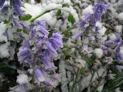 Lilas sous la neige le 4 mai