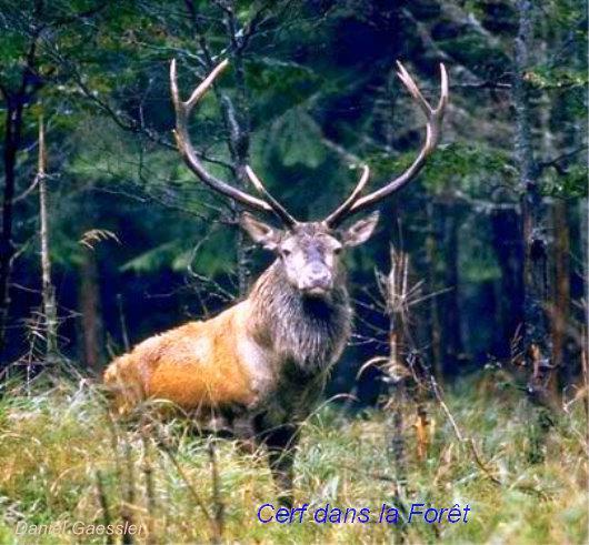 http://s2.e-monsite.com/2010/05/09/04/resize_550_550//Cerf-dans-la-Foret.jpg